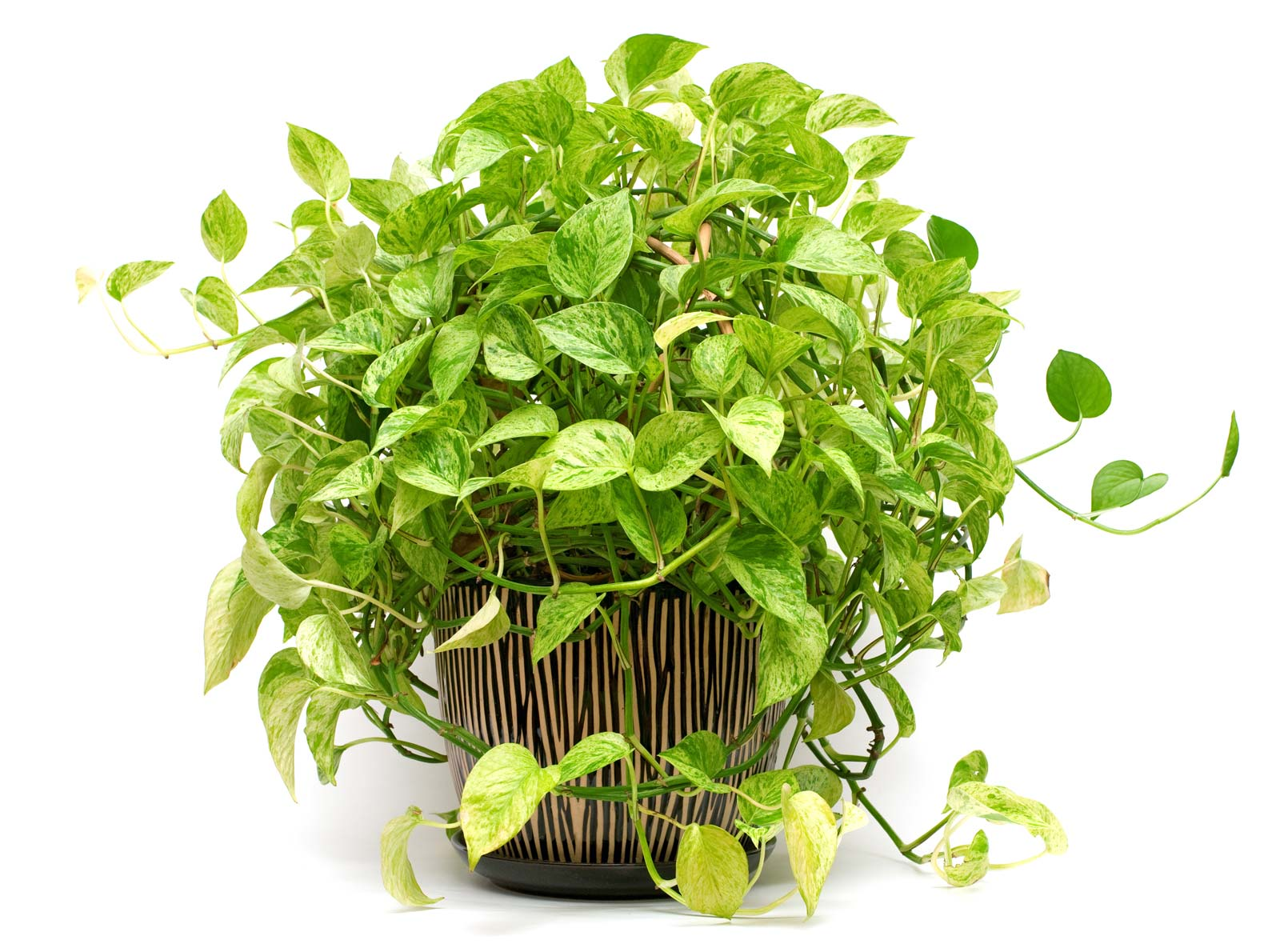 Varieties of Pothos to know and own