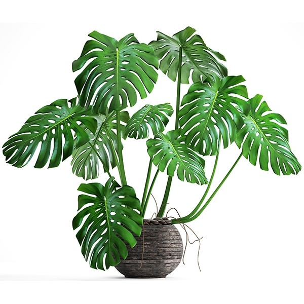 Caring For Monstera Plant