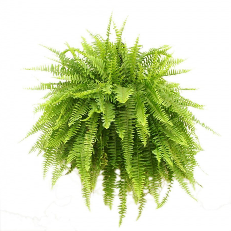 How To Care For Boston Ferns