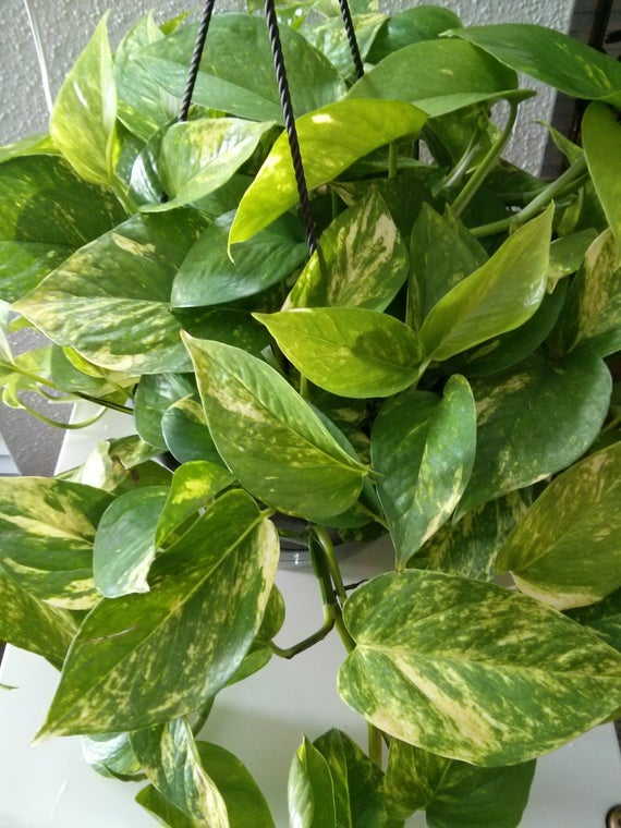Pothos: How to Care and Propagate
