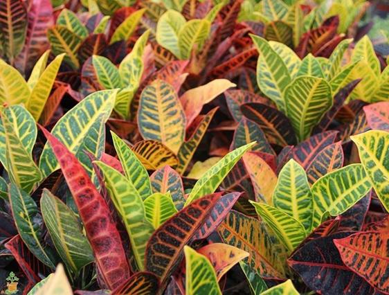 Croton Plant – Codiaeum Variegatum