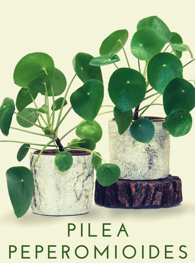 Pilea Peperomioides-Chinese Money Plant